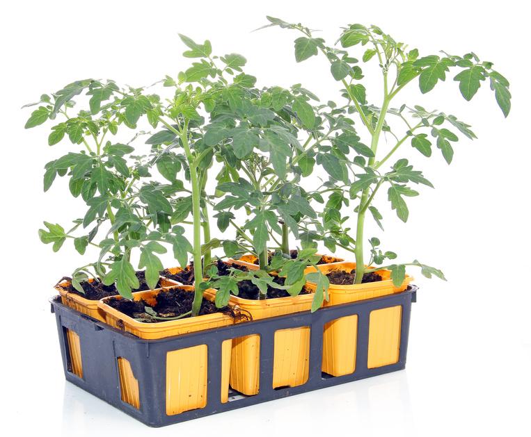 Plants de tomates en godets