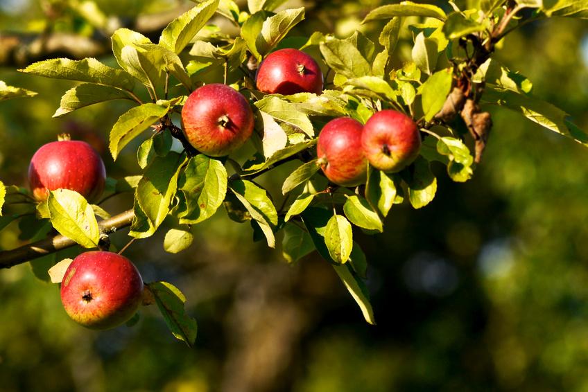 pommier avec pommes rouges