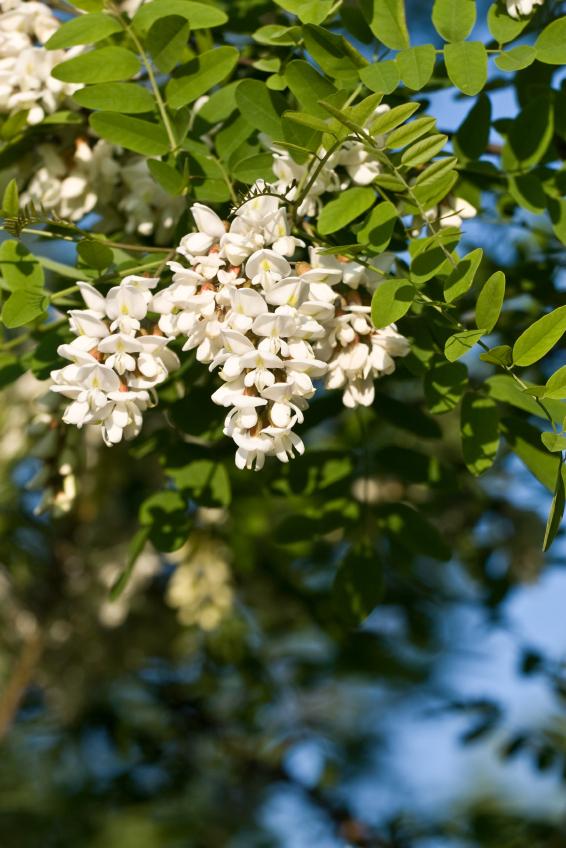 Robinier faux-acacia aux fleurs blanches