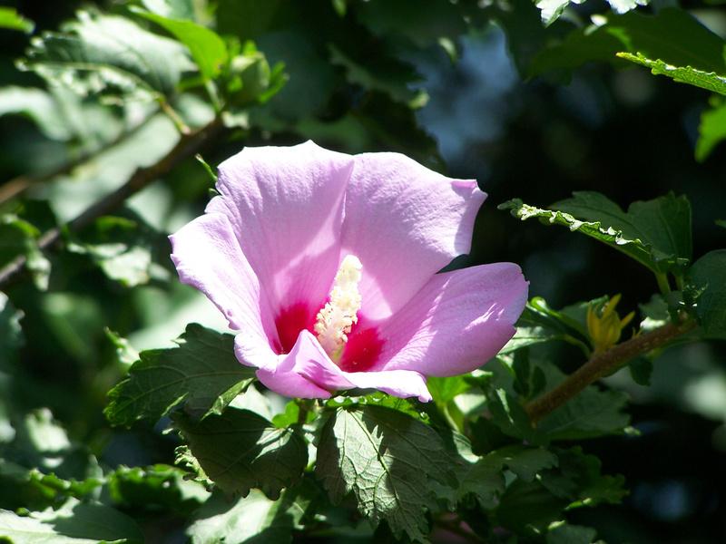 Rose trémière annuelle