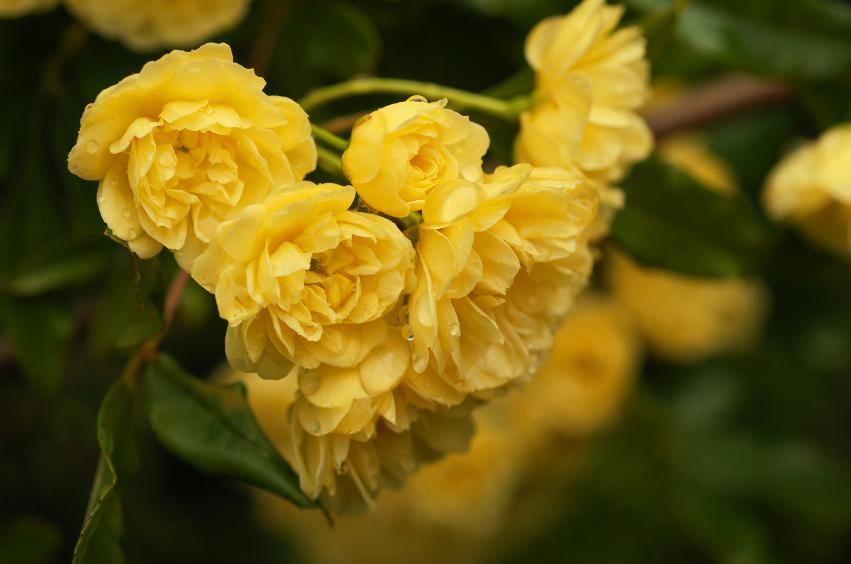 Rosier grimpant avec roses jaunes