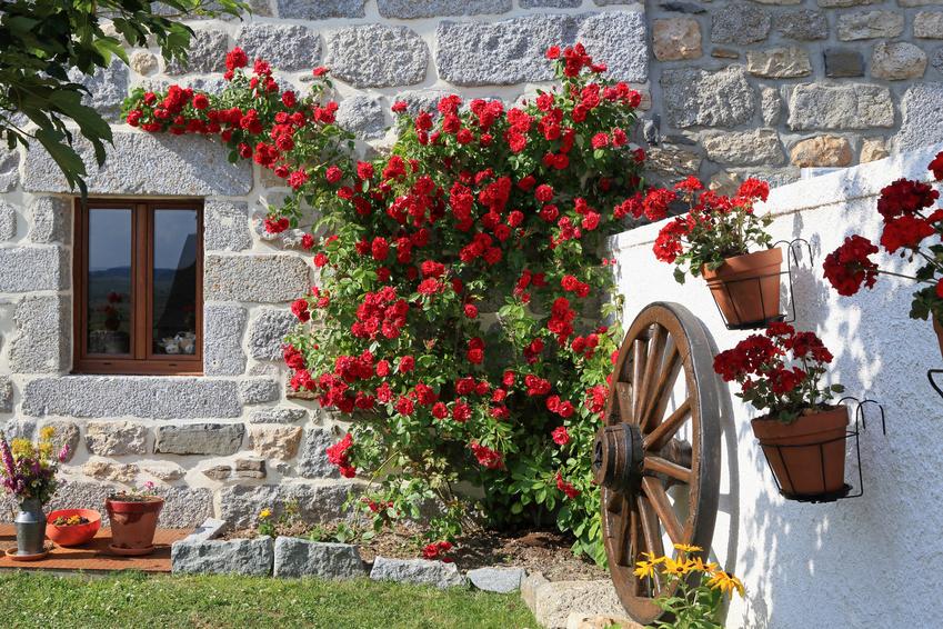 rosier liane sur une façade de maison