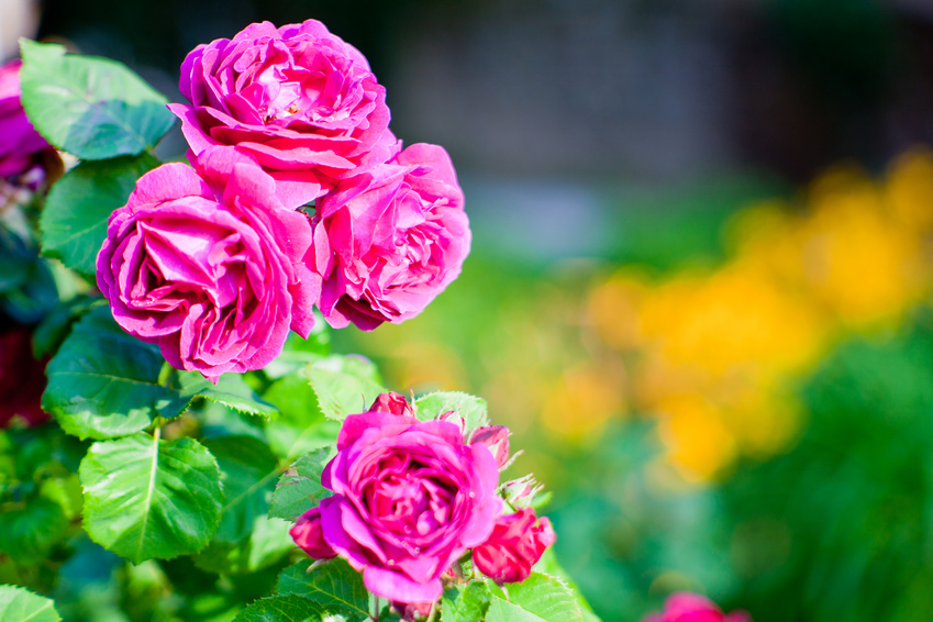Rosier rose en fleur