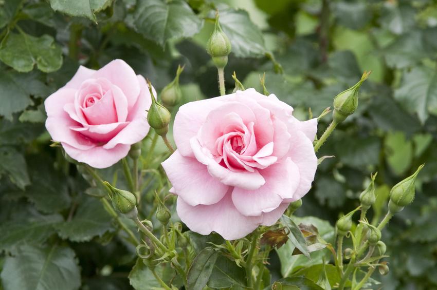 rosier remontant rose