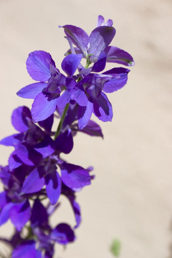 Salvia Guaranatica