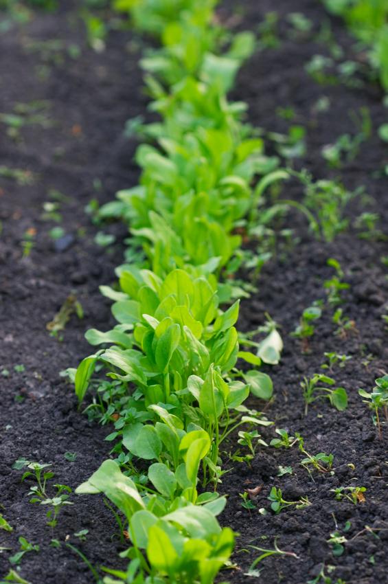 semis de l'oseille