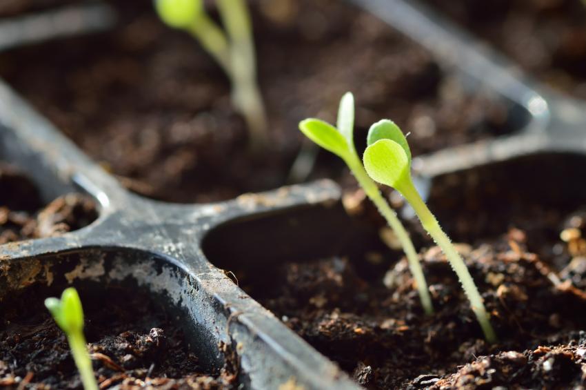 semis en couche chaude