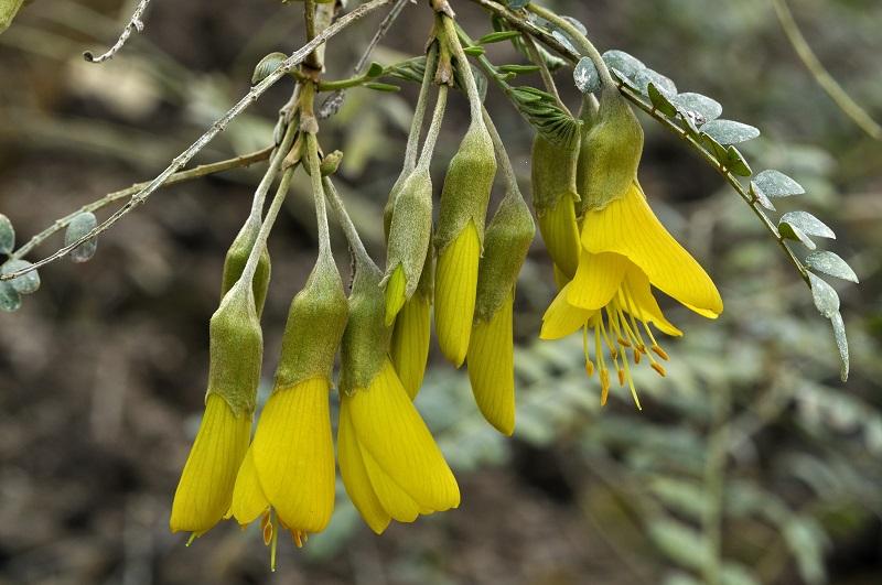 Sophora, Arbre de miel
