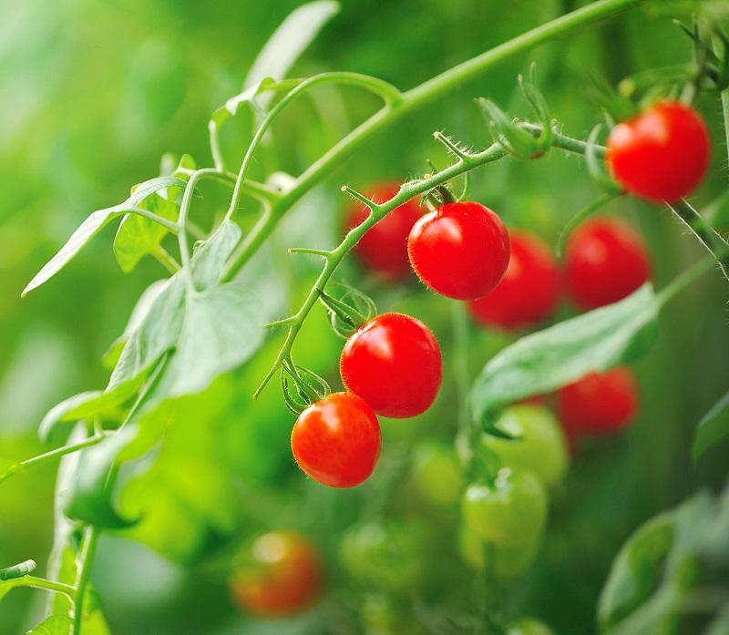 Tomates cerises sur plant de tomates