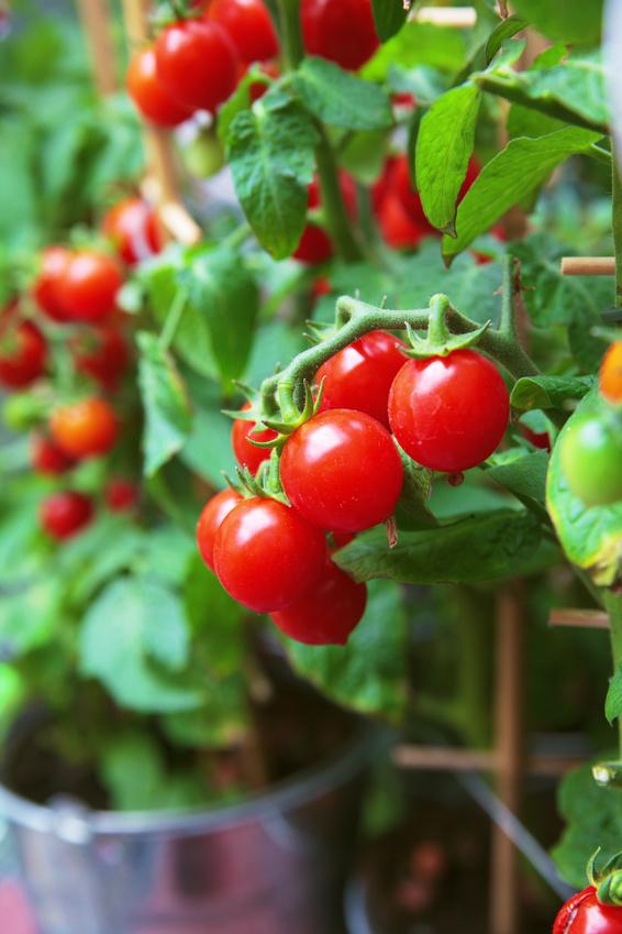 planter des tomates cerises