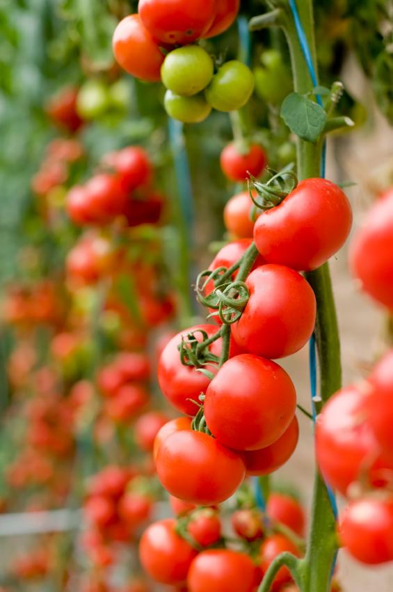 Tomates cobra