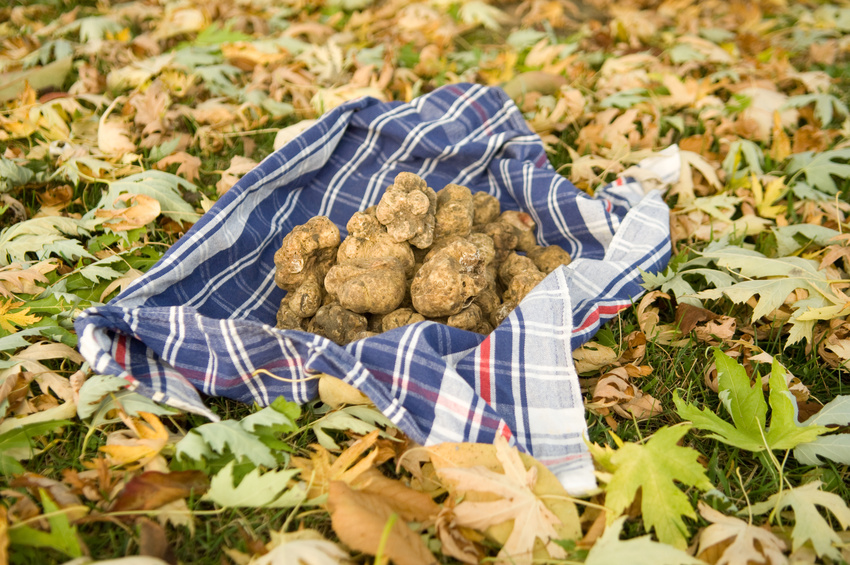 truffes fraîchement récoltées